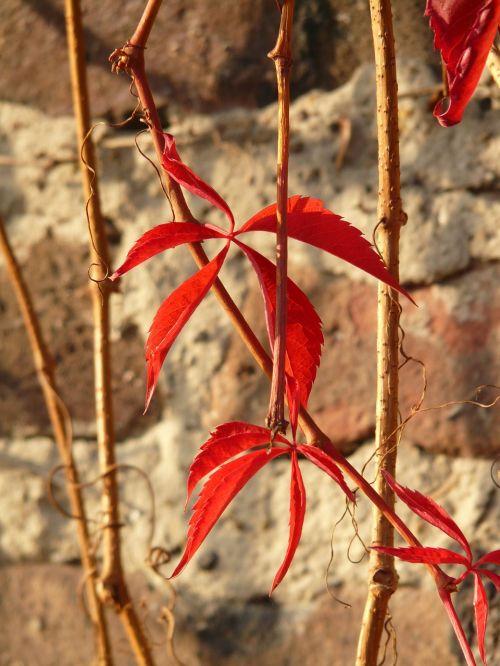 self kletternde jungfernrebe parthenocissus quinquefolia wine partner