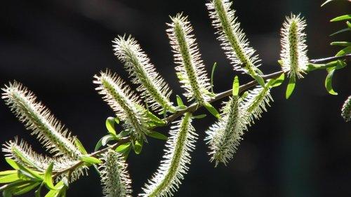 selix alba  shrub  tree