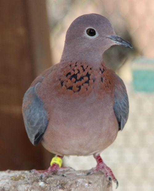 senegal deaf senegal dove