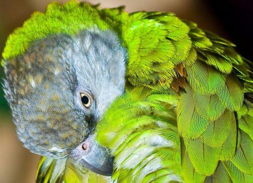 senegal parrot hygiene purification