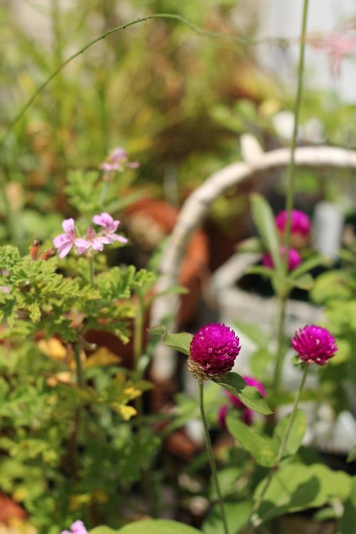 sen'nichiko flowers sen ted geranium