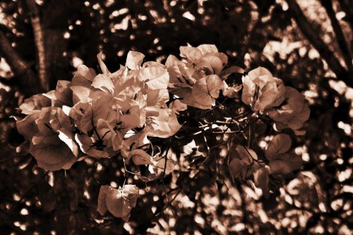 Sepia Tinted Flowers