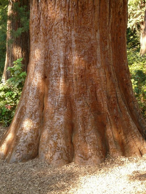 sequoia tribe bark