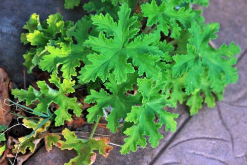 Serrated Leaves Of Geranium