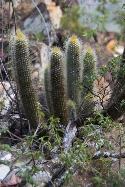 serrated minas cactus