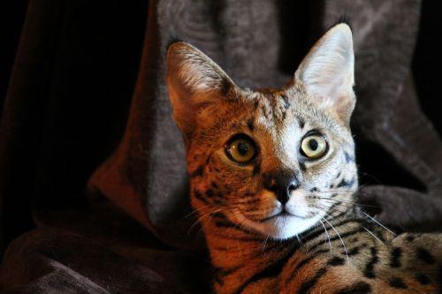 serval cat wild
