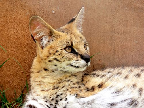 Serval Profile