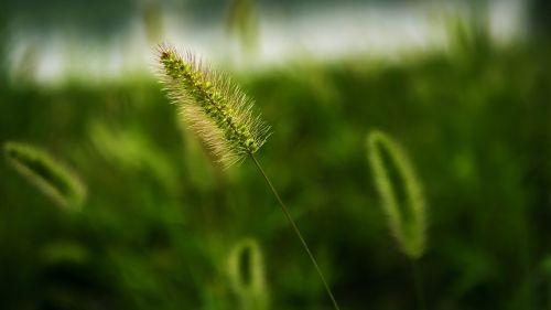 setaria viridis grass plant