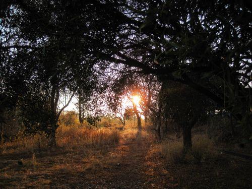 Setting Sun Low Under Trees