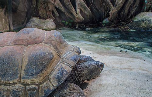 seychelles giant tortoises giant tortoises aldabrachelys gigantea