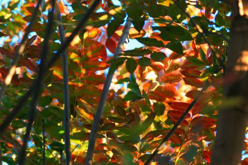 Shaded Cape Ash Leaves