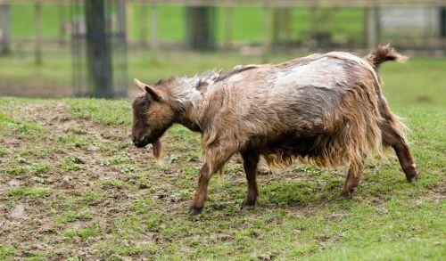 Shaggy Goat