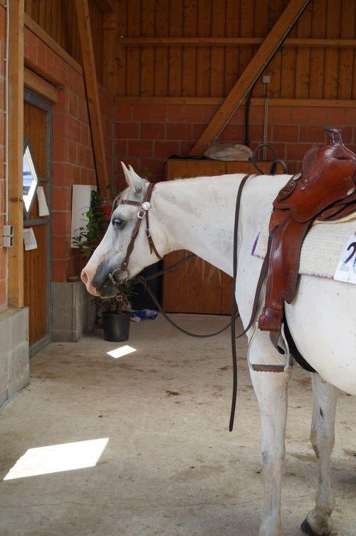 shagya-arabians horse western