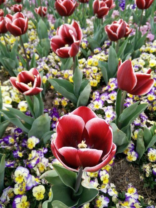 shanghai chen shan tulip