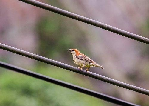 sharing hung  passer rutilans  birds