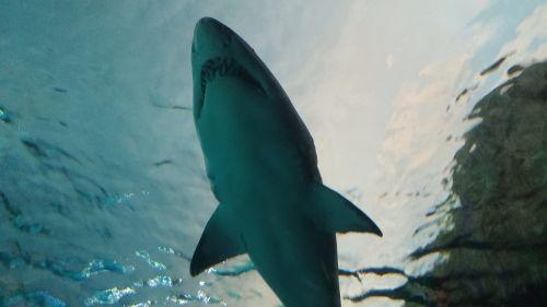 shark underwater predator
