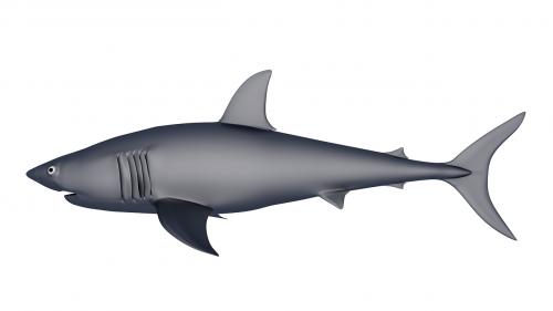 shark 3d model biology