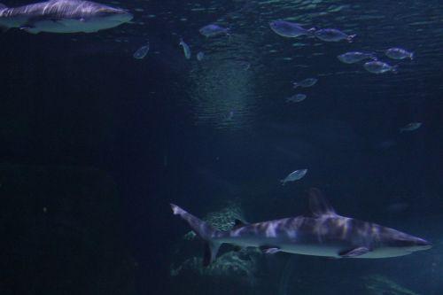 shark underwater fish