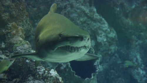shark teeth underwater