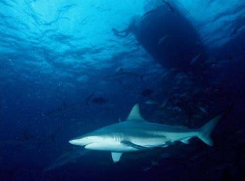 shark blacktip shark predator