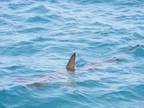 shark fin shark fin