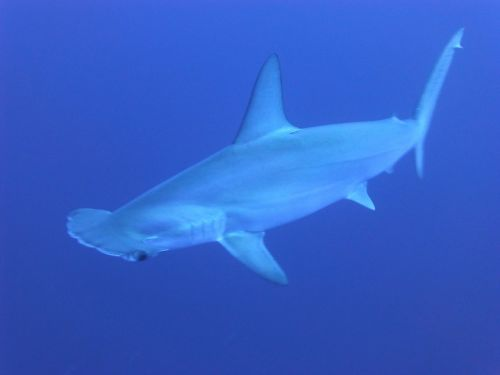 sharks blue underwater