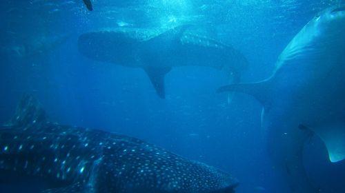 sharks underwater marine life