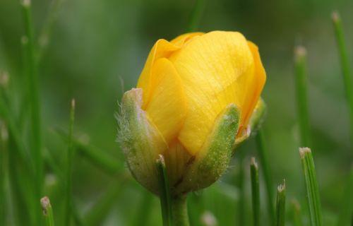 sharp buttercup ranunculus acris buttercup