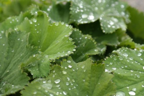 sharp lappiger lady's mantle leaves raindrop