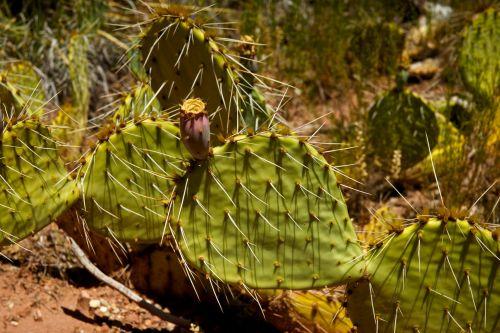 Sharp Spikes Of Desert Cactus