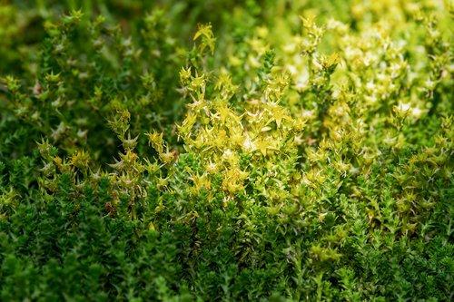 sharp wall pepper  sedum acre  sharp stonecrop