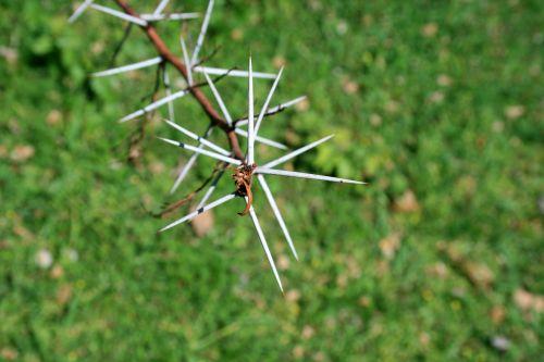 Sharp White Thorns
