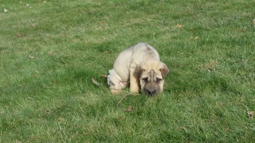 sharpei wrinkled puppy