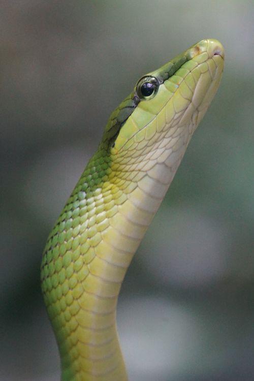 sharpnose snake snake non toxic