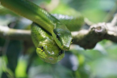 sharpnose snake snakes green