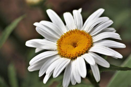 Shasta Daisy Close-up