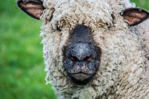 sheep wildlife farm animal