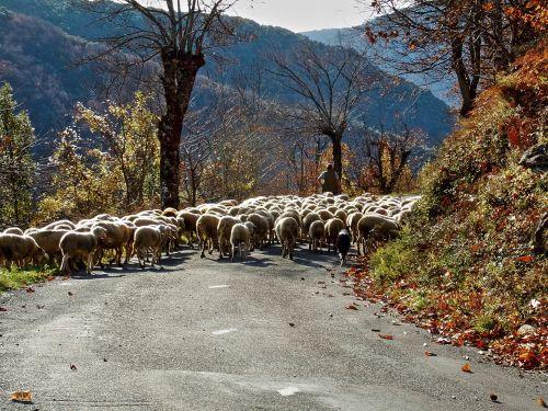 sheep berger herd