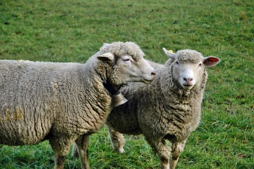 sheep pasture livestock