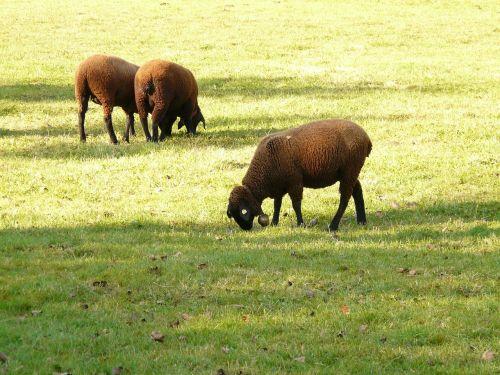 sheep schwarzbraunes bergschaf jura sheep