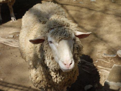 sheep petting zoo
