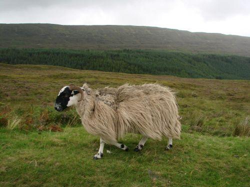 sheep livestock scotland
