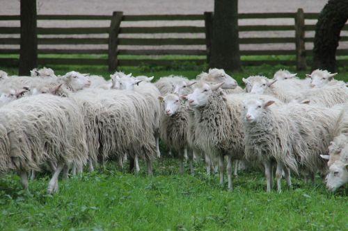sheep heide moorschnucke