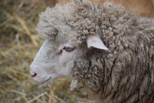 sheep animal lana