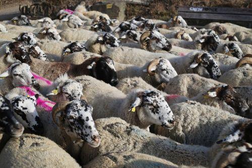 sheep flock pastor