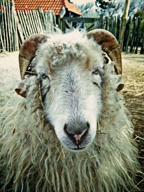 sheep farm spring