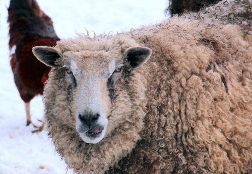 sheep white animal