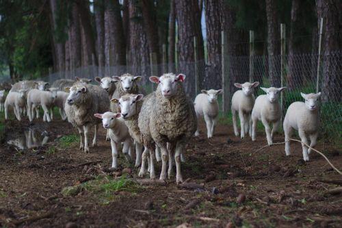 sheep herd pasture