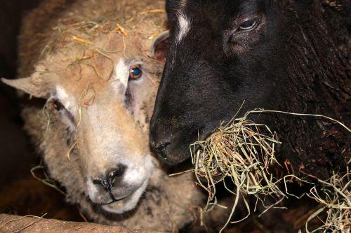 sheep black sheep white sheep
