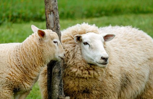 sheep lamb affection